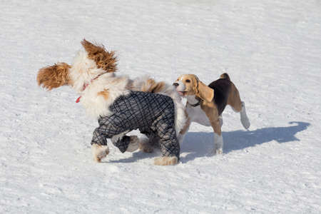 Cute english beagle puppy and english cocker spaniel are playing in the winter park. Pet animals. Purebred dog. 版權商用圖片