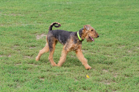 Cute airedale terrier is running on a green grass in the summer park. Pet animals. Purebred dog. 版權商用圖片