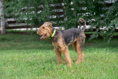 Cute airedale terrier is standing on a green grass in the summer park. Pet animals. Purebred dog. 版權商用圖片