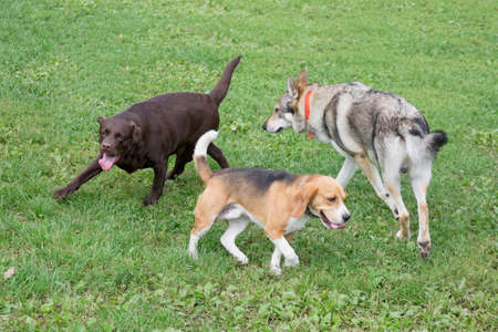 English beagle puppy, labrador retriever and czechoslovak wolfdog are playing on a green grass in the summer park. Pet animals. Purebred dog.