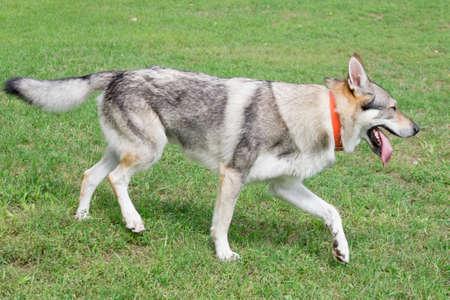 Cute czechoslovak wolfdog is walking on a green grass in the summer park. Pet animals. Purebred dog.