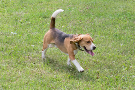Cute english beagle is walking on a green grass in the summer park. Pet animals. Purebred dog.