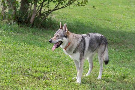 Czechoslovak wolfdog is standing on a green grass in the summer park. Pet animals. Purebred dog. 版權商用圖片