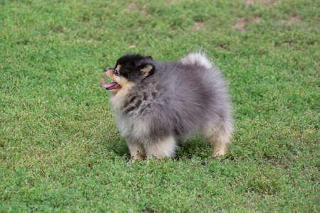 Cute pomeranian spitz puppy is standing on a green grass in the summer park. Deutscher spitz or zwergspitz. Pet animals. Purebred dog. 版權商用圖片