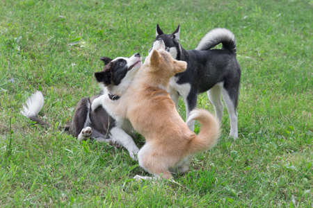 Border collie puppy, akita inu puppy and siberian husky puppy are playing on a green grass in the summer park. Four month old. Pet animals. Purebred dog. 版權商用圖片
