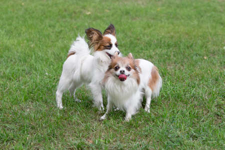 Cute continental toy spaniel puppy and chihuahua puppy are standing on a green grass in the summer park. Pet animals. Purebred dog. 版權商用圖片