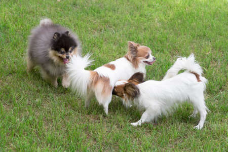 Cute continental toy spaniel puppy, pomeranian spitz puppy and chihuahua puppy are playing on a green grass in the summer park. Pet animals. Purebred dog.