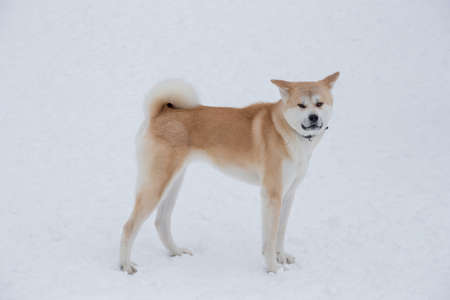 Cute akita inu puppy is looking at the camera. In the winter park. Pet animals. Purebred dog.