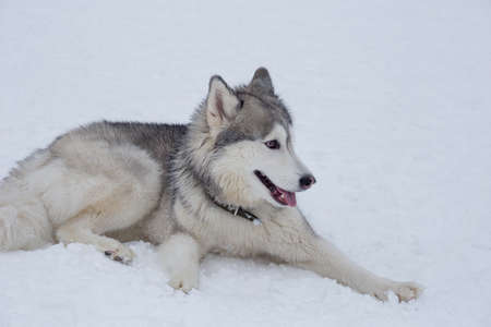 Cute siberian husky puppy are lying on a white snow in the winter park. Pet animals. Purebred dog.