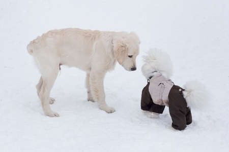 Labrador retriever puppy and bichon frise in beautiful pet clothing are standing in the winter park. Pet animals. Purebred dog. 版權商用圖片