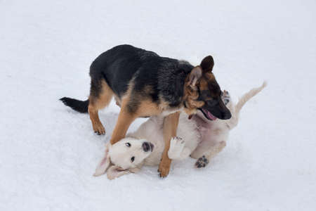 German shepherd dog puppy and labrador retriever puppy are playing on a white snow in the winter park. Four month old. Pet animals. Purebred dog.