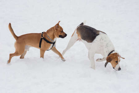 Russian hound and american pit bull terrier puppy are walking on a white snow in the winter park. Pet animals. Purebred dog.