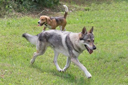 Czechoslovak wolfdog is running on a green grass in the summer park. Pet animals. Purebred dog. Banque d'images