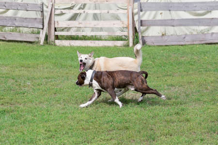 Angry west siberian laika is aggressively attacks the american staffordshire terrier puppy. Dog fight. Pet animals. Purebred dog. Banque d'images