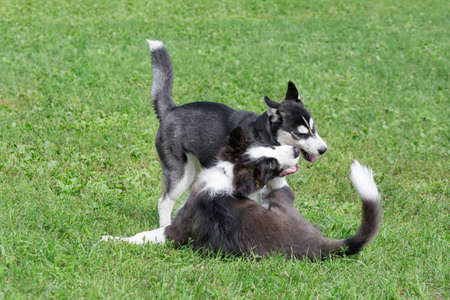 Border collie puppy and siberian husky puppy are playing on a green grass in the summer park. Four month old. Pet animals. Purebred dog.