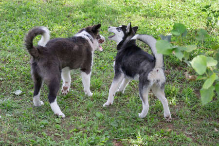 Siberian husky puppy and border collie puppy are playing on a green grass in the summer park. Four month old. Pet animals. Purebred dog.