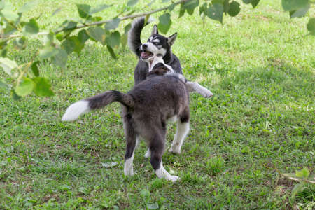 Cute border collie puppy and siberian husky puppy are playing on a green grass in the summer park. Four month old. Pet animals. Purebred dog.