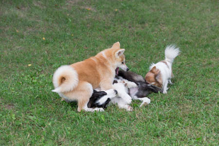 Border collie puppy, akita inu puppy and chihuahua puppy are playing on a green grass in the summer park. Four month old. Pet animals. Purebred dog.
