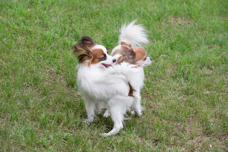 Cute continental toy spaniel puppy and chihuahua puppy are standing on a green grass in the summer park. Pet animals. Purebred dog. Banque d'images