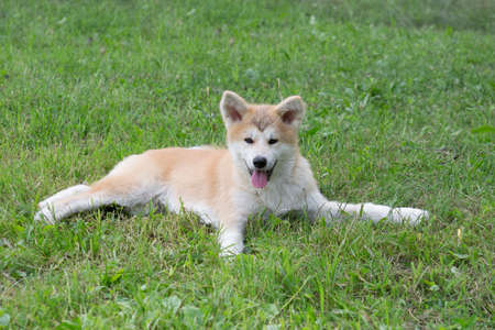 Cute akita inu puppy is looking at the camera. Japanese akita or great japanese dog. Pet animals. Purebred dog. In the summer park.