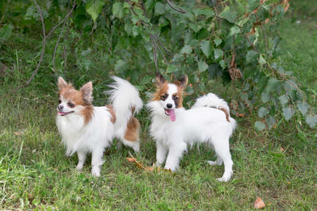 Continental toy spaniel puppy and chihuahua puppy are standing on a green grass in the summer park. Pet animals. Purebred dog. Banque d'images