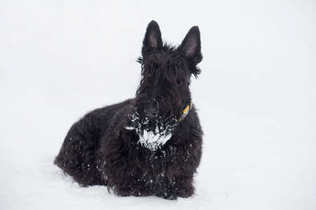 Black scottish terrier puppy is sitting on a white snow in the winter park. Pet animals. Purebred dog.