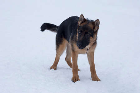 German shepherd dog puppy is standing on white snow in the winter park. Four month old. Pet animals. Purebred dog. Banque d'images
