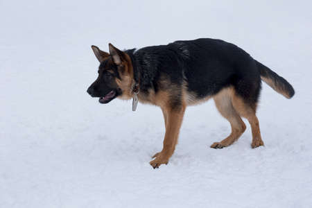 Cute german shepherd dog puppy is standing on white snow in the winter park. Four month old. Pet animals. Purebred dog.