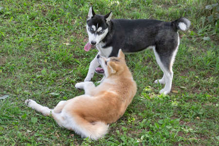 Border collie puppy and akita inu puppy are playing on a green grass in the summer park. Four month old. Pet animals. Purebred dog. Banque d'images