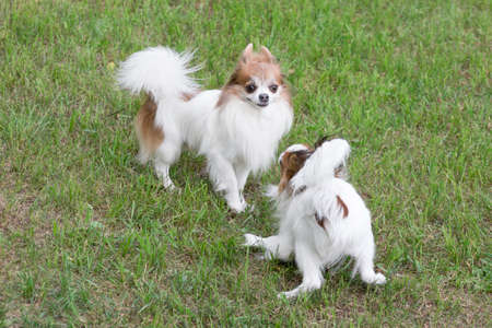 Cute continental toy spaniel puppy and chihuahua puppy are playing on a green grass in the summer park. Pet animals. Purebred dog. Banque d'images