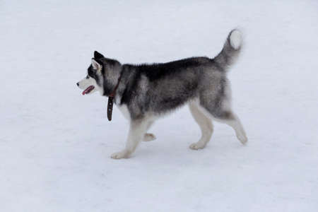 Cute siberian husky puppy is walking on a white snow in the winter park. Sled dog. Pet animals. Purebred dog.