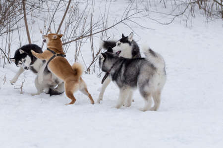 Shiba inu puppy and three siberian husky puppies are playing in the winter park. Pet animals. Purebred dog.