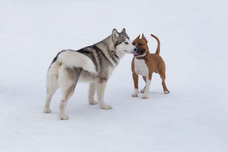 Siberian husky and american staffordshire terrier puppy are standing on a white snow in the winter park. Pet animals. Purebred dogs. Banque d'images