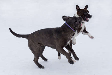 Italian mastiff puppy and american staffordshire terrier puppy are playing in the winter park. Pet animals. Purebred dog.