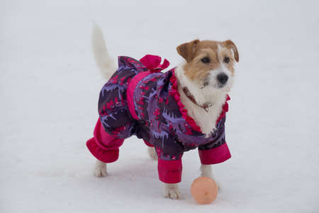 Cute jack russell terrier puppy in beautiful pet clothing is standing on a white snow in the winter park. Pet animals. Purebred dog.