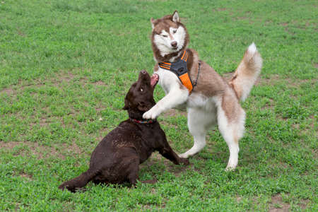 Red and white siberian husky and labrador retriever puppy are playing on a green grass in the summer park. Pet animals. Purebred dog.