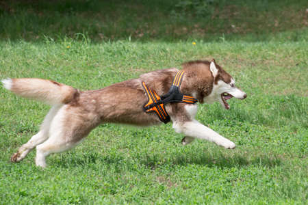 Red and white siberian husky is running on a green grass in the summer park. Pet animals. Purebred dog.