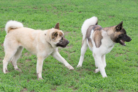 Two american akita puppies are playing on a green grass in the summer park. Pet animals. Purebred dog.