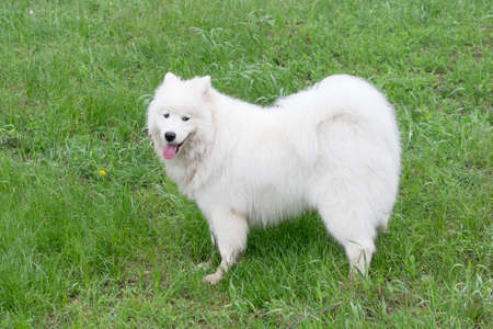 Cute samoyed dog puppy is looking at the camera. In the summer park. Pet animals. Purebred dog.