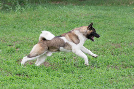 Cute american akita puppy is running on a green grass in the summer park. Pet animals. Purebred dog. Banque d'images