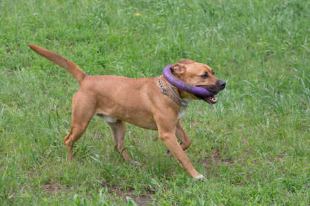 Cute american pit bull terrier puppy is running with dog ring on a green grass in the summer park. Pet animals. Purebred dog.