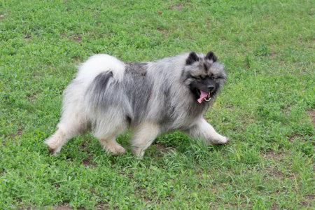 German spitz is running on a green grass in the summer park. Keeshond or deutscher wolfspitz. Pet animals. Purebred dog.