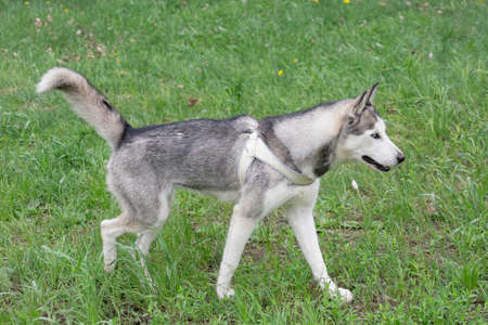 Cute light gray and white siberian husky is walking on a green grass in the summer park. Pet animals. Purebred dog.