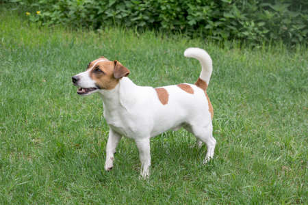 Cute jack russell terrier puppy is standing on a green grass in the summer park. Pet animals. Purebred dog. Banque d'images