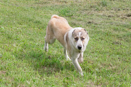 Central asian shepherd dog puppy is running on a green grass and looking at the camera. Pet animals. Purebred dog. Banque d'images