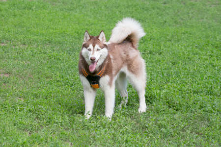 Cute red and white siberian husky is standing on a green grass and looking at the camera. Pet animals. Purebred dog.