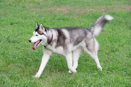 Cute siberian husky puppy is walking on a green grass in the summer park. Pet animals. Purebred dog. Banque d'images