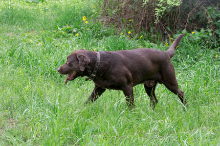 Cute chocolate labrador retriever puppy is walking on a green grass in the summer park. Pet animals. Purebred dog.