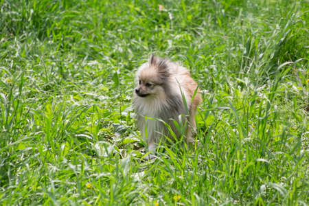 Cute german spitz puppy is standing on lush green grass and looking away. Pet animals. Purebred dog.