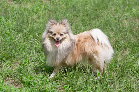Cute german spitz puppy is standing on a green grass and looking at the camera. Pet animals. Purebred dog. Banque d'images